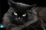 furry black cat - 143325164