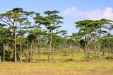 Pine tree forest at Phu Soi Dao National Park, Thailand