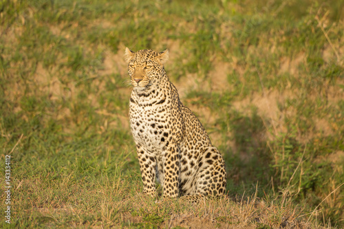Leopard in the rays of morning sun Poster