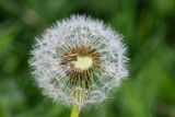 Close up on a seed head of the dandelion family with many seeds already dispersed
