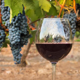 Red wine glass at vineyard on harvest