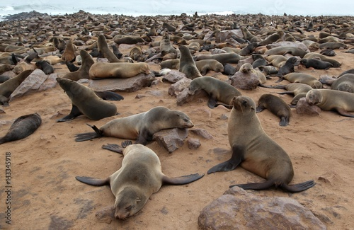 Colony of fur seals