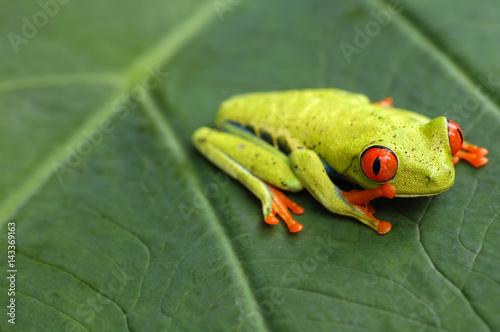 Aluminium Kikker Red eyed tree frog