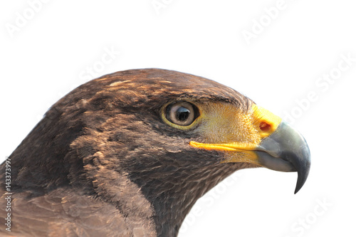 Poster Hawk on white background