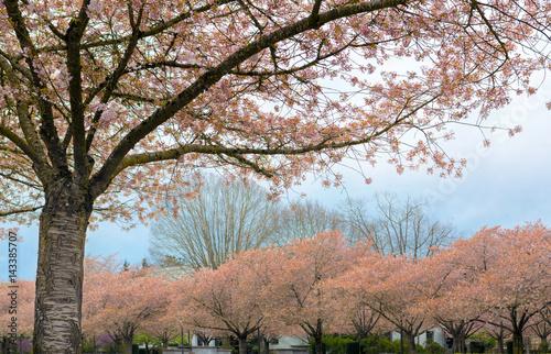 Cherry Blossom Trees full Bloom in Salem Oregon Poster