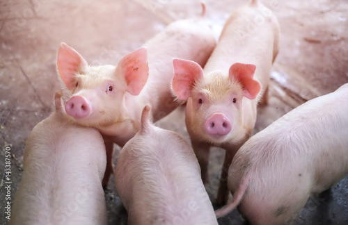 Small piglet in the farm. Group of Pig indoor on a farm yard in Thailand. swine in the stall. - 143387570