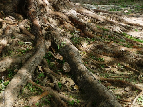 Root of the big tree with dry leaves, light and shade Poster