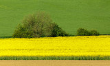 Yellow and green spring field in countryside