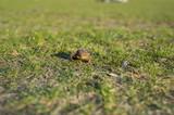 Żaba siedząca na trawie, ropucha szara.