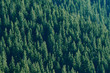 Pine forests on mountain