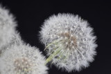 Dandelion flowers seed isolated on black background