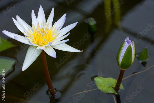 Purple lotus flower in pond Poster