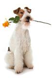 Hund hält Rose im Maul