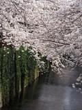 Sakura - Cherry blossom at Nakameguro, Japan