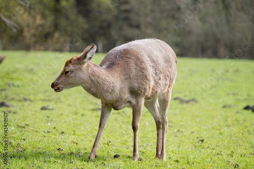 Fotobehang Ree Sikawild - sika deer - cervus nippon