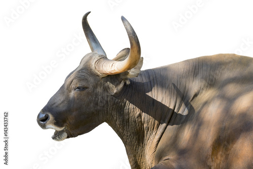Image of a red bull male on white background. wild animals. Plakát