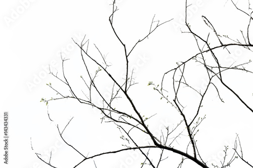 Fototapeta tree branch silhouette photography , isolated on white background