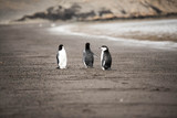 Pingwin Maskowy na Deception Island