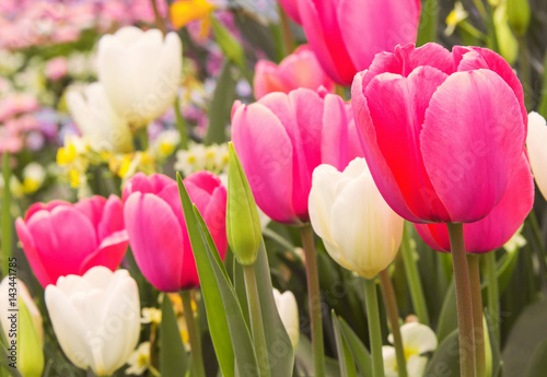 Aluminium Candy roze wonderful pink and white tulips