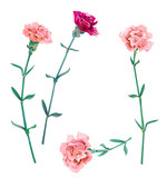 Set of carnation schabaud, pink, red, scarlet flowers, green stem, leaves on white background, collection for Mother's Day, victory day, digital draw, vintage illustration, vector - 143458562
