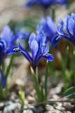 Blue Mini Iris