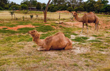 One-humped camels