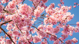 Cherry Blossoms fill...
