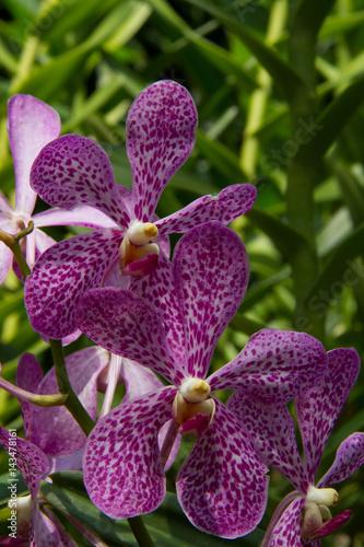 Orchidee di Singapore Poster