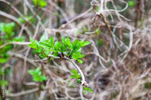 First new leaves grow from buds in spring forest Poster