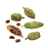 Pods and cardamom seeds. Watercolor. - 143480995