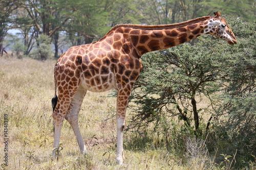 Poster Wild Giraffe
