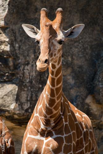 Poster Young Giraffe