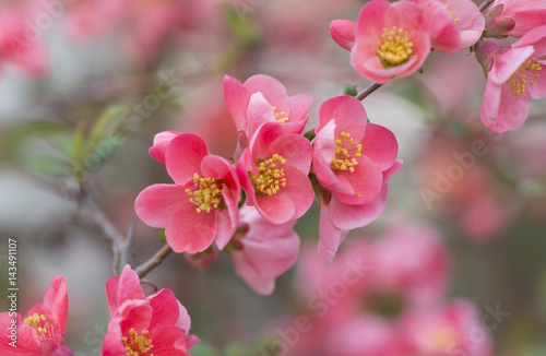 Foto op Canvas Azalea flowers of japanese quince tree - symbol of spring, macro shot with blurry background