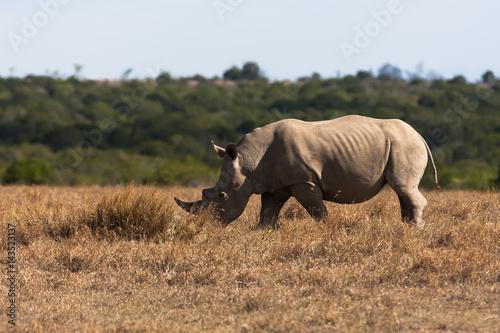 Poster Large white rhinoceros grazes. Kenya, Africa