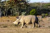 Large white rhino. Nakuru lake park, Kenya