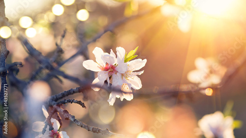 Fototapeta Spring blossom background. Beautiful nature scene with blooming almond tree