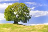 Große Buche als Einzelbaum in Frühlingswiese - 143533765
