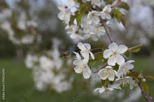 Billede Biene im Anflug auf weiße Kirschblüte