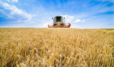 Combine harvester in action on wheat field. Harvesting is the process of gathering a ripe crop from the fields. - 143544510