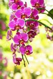 Beautiful purple orchids flower in garden