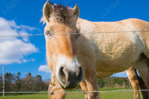 Poster Ein Pferd steht hinter einem Elektrozaun auf einer Weide in Moischt