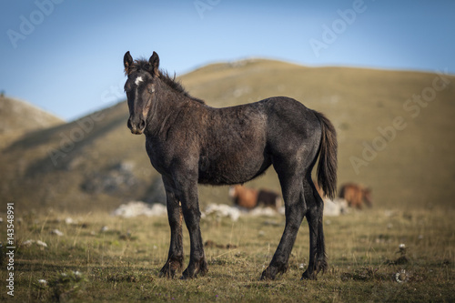 Black stallion standing in a prairie and looking in camera.  Poster