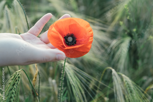 Woman holds red poppy in a hand in the field in summertime