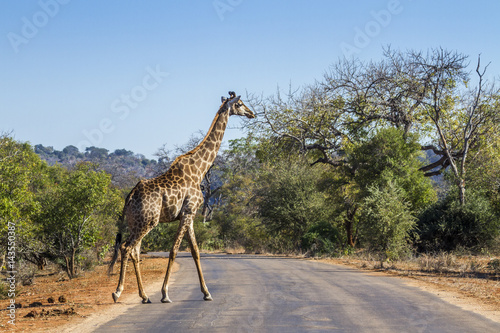 Giraffe in Kruger National park, South Africa Poster