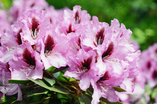 Plexiglas Azalea purple red rhododendron flower heads