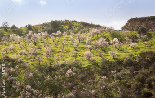 Almond trees in blossom, Portugal, Algarve Poster