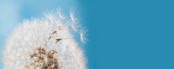 Summer time still life photo with fluffy dandelion flower, flying seeds. Macro view natural plant on blue background. Shallow depth of field, copy space.