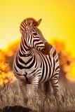 Plains zebra in Kruger National park, South Africa - 143578121