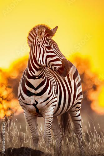 Fototapeta Plains zebra in Kruger National park, South Africa