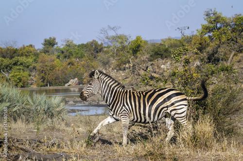 Poster Plains zebra in Kruger National park, South Africa